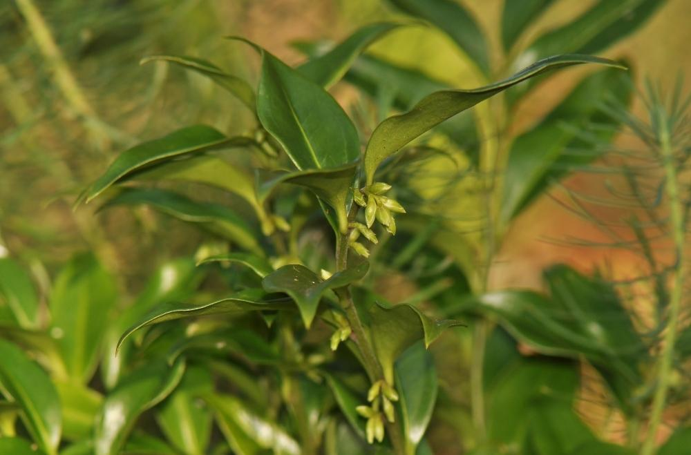 Photo of Sarcococca (Sarcococca ruscifolia) uploaded by JRsbugs
