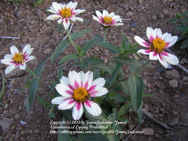Photo of Zinnia Zahara™ Starlight Rose uploaded by JonnaSudenius