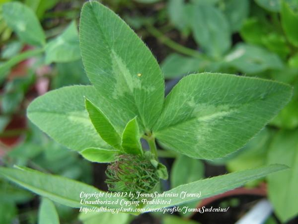 Photo of Red Clover (Trifolium pratense) uploaded by JonnaSudenius
