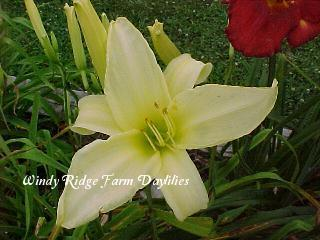 Photo of Daylily (Hemerocallis 'White Stripe') uploaded by Joy