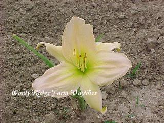 Photo of Daylily (Hemerocallis 'Tibetan Jewel') uploaded by Joy