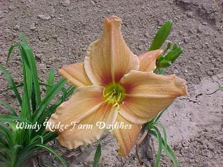 Photo of Daylily (Hemerocallis 'Stagecoach') uploaded by Joy