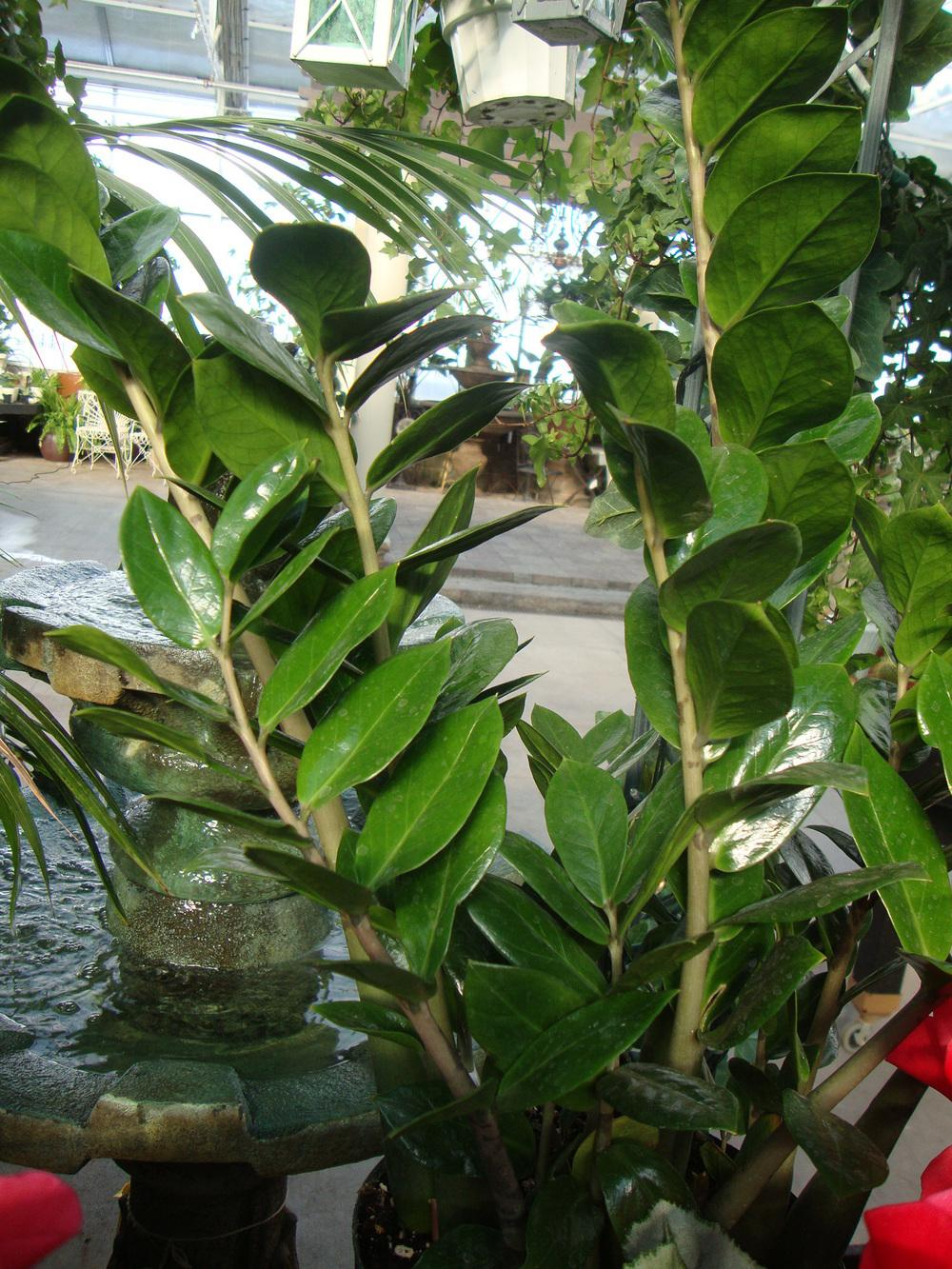 Photo of ZZ Plant (Zamioculcas zamiifolia) uploaded by Paul2032