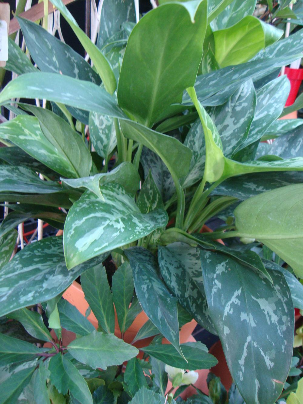 Photo of Aglaonemas (Aglaonema) uploaded by Paul2032