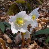 Photo: Helleborus niger by Archenzo Moggio (Lecco) Italy 03 april