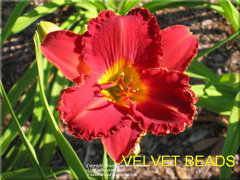 Photo of Daylily (Hemerocallis 'Velvet Beads') uploaded by vic