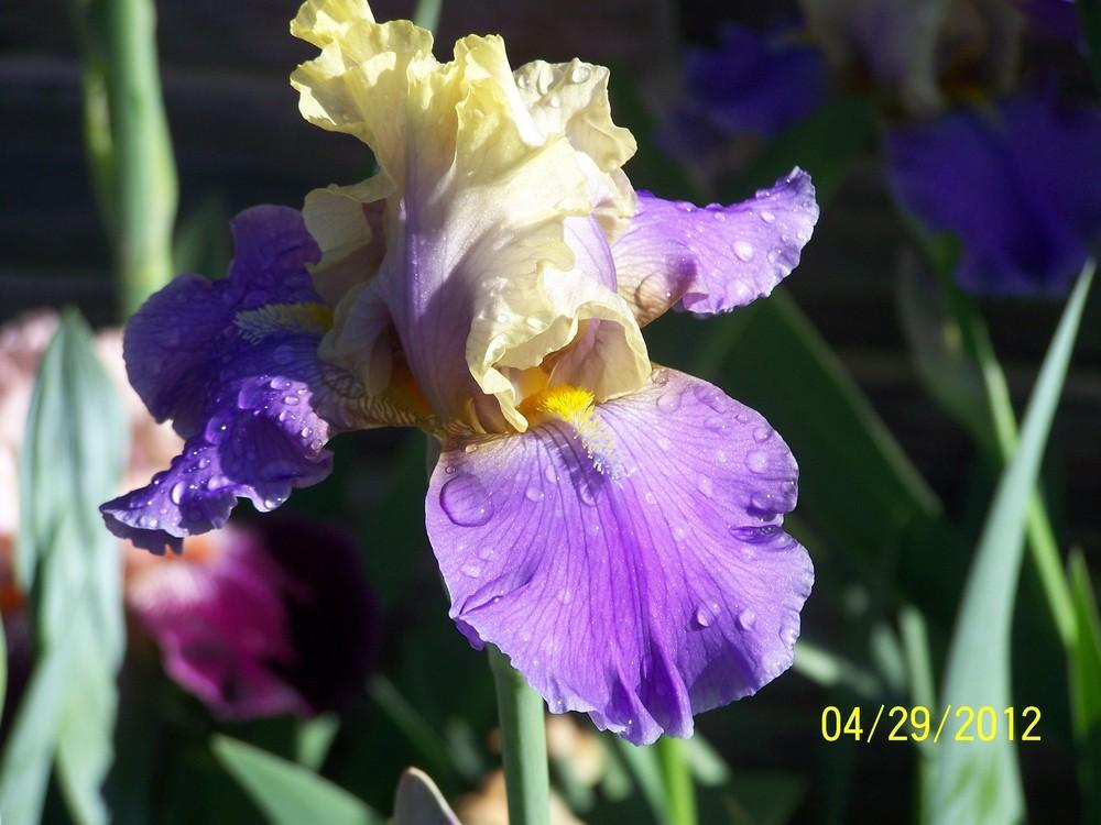 Photo of Tall Bearded Iris (Iris 'In Your Dreams') uploaded by Misawa77