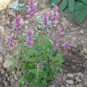 Location: My garden in BelgiumDate: 2012-09-291st year plant