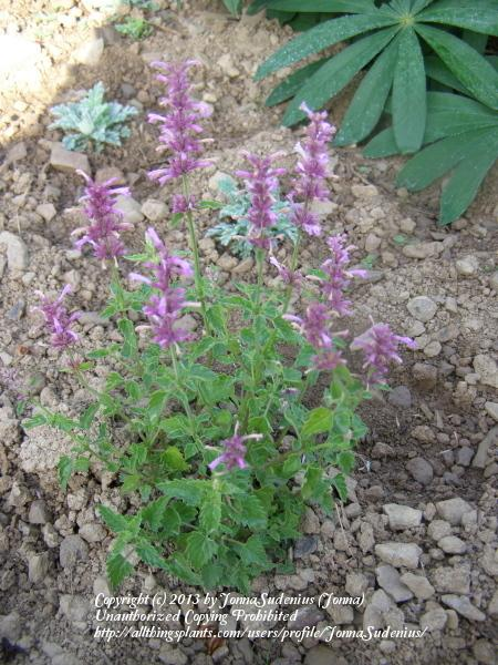Photo of Anise Hyssop (Agastache pallidiflora subsp. neomexicana 'Pink Pop') uploaded by JonnaSudenius