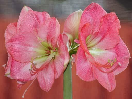 Amaryllis and hippeastrum forum what 39 s in bloom today for Amaryllis sweet pink