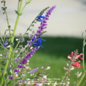 Location: My garden in Northern KYDate: 2012-10-08Blooming with other Salvias in the background