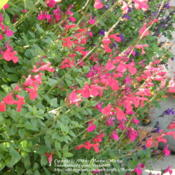 Location: My garden in Northern KYDate: 2012-10-08Surrounded among Salvias 'Mesa Purple' and 'San Carlos