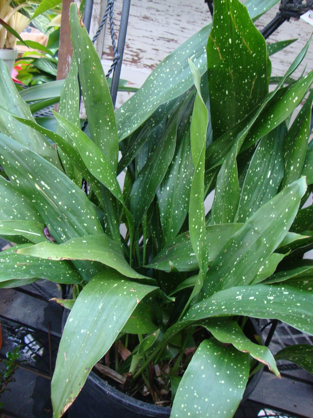 photo of the entire plant of cast iron plant aspidistra. Black Bedroom Furniture Sets. Home Design Ideas