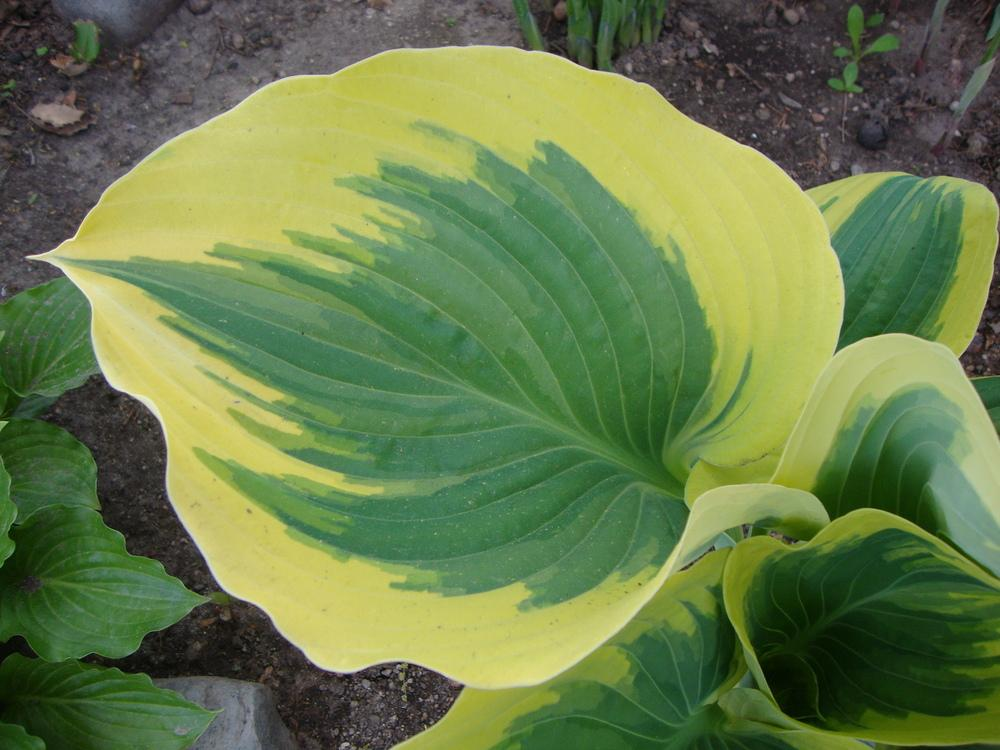 Growing Hostas From Seed And Watching For Sports Gardenorg