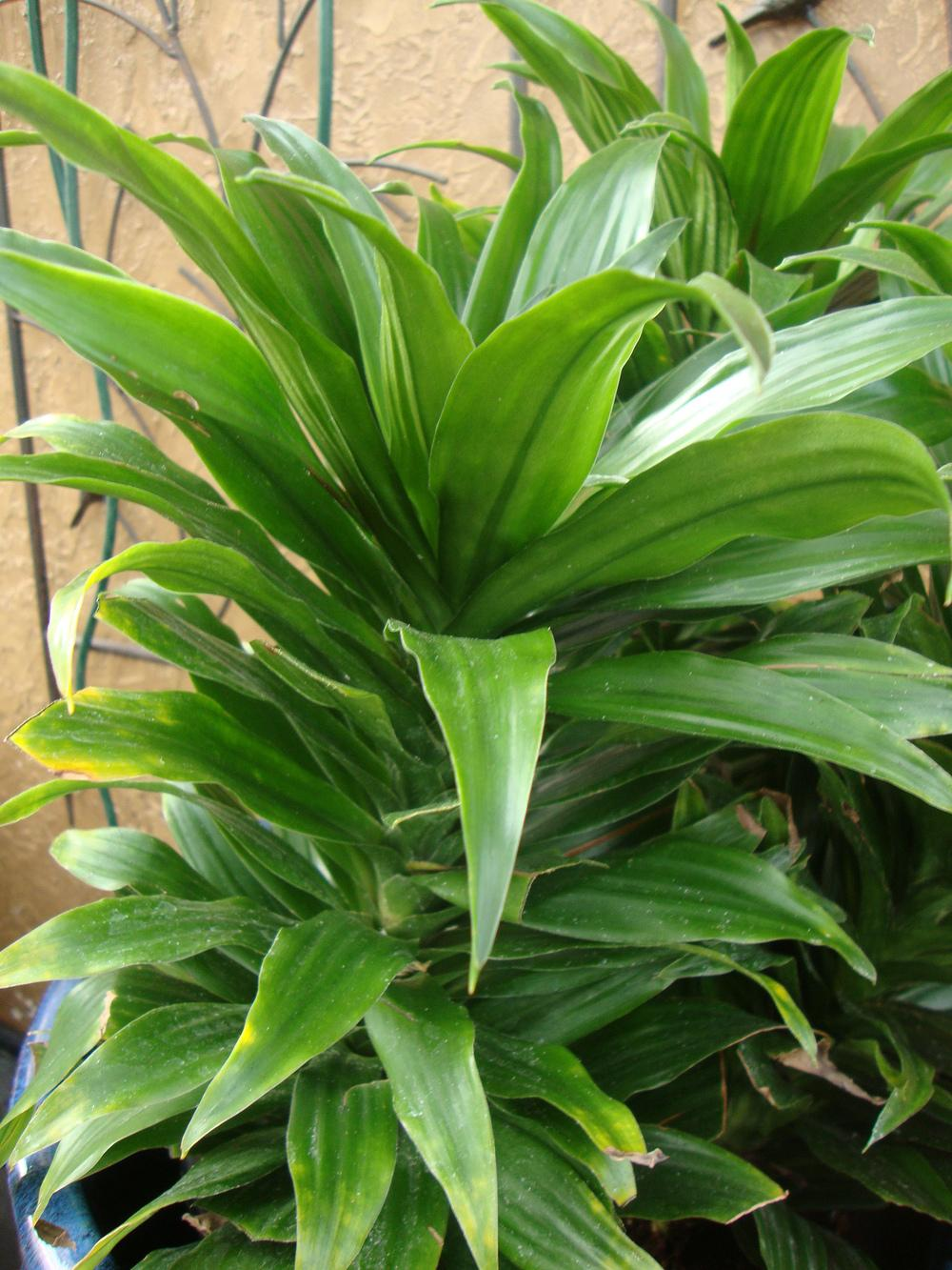 photo of the leaves of dracaena dracaena fragrans 39 janet. Black Bedroom Furniture Sets. Home Design Ideas