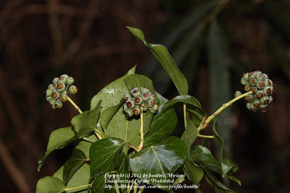 Photo of English Ivy (Hedera helix) uploaded by bonitin