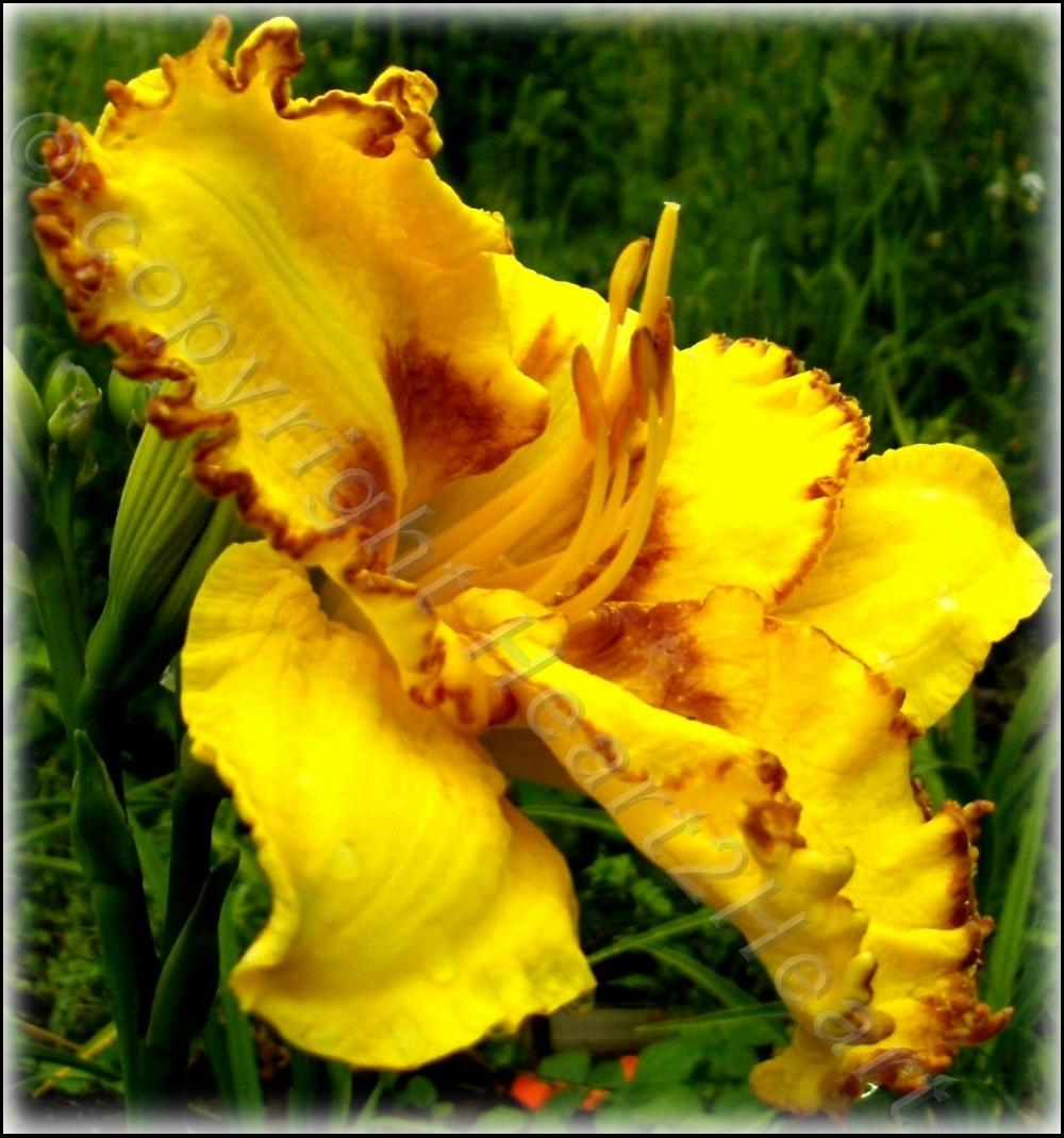 Photo of Daylily (Hemerocallis 'On the Fringe') uploaded by Heart2Heart