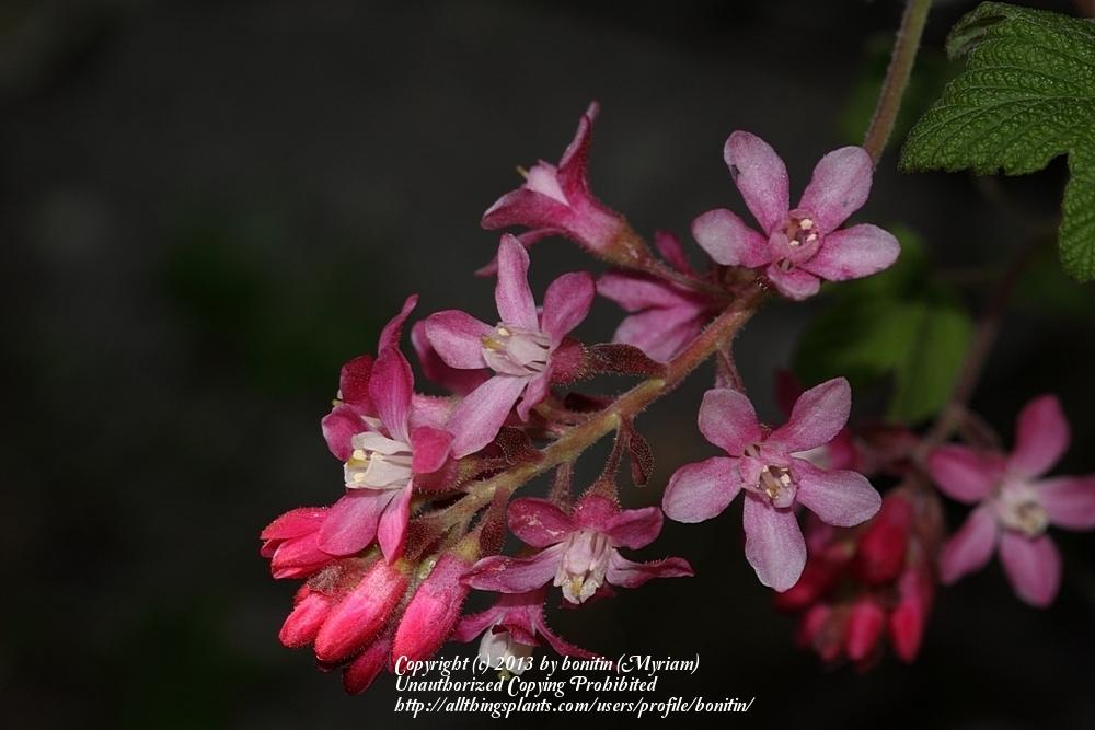 Photo of Red Flowering Currant (Ribes sanguineum) uploaded by bonitin