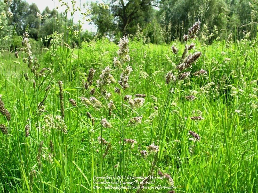 Photo of Cocksfoot Grass (Dactylis glomerata) uploaded by bonitin