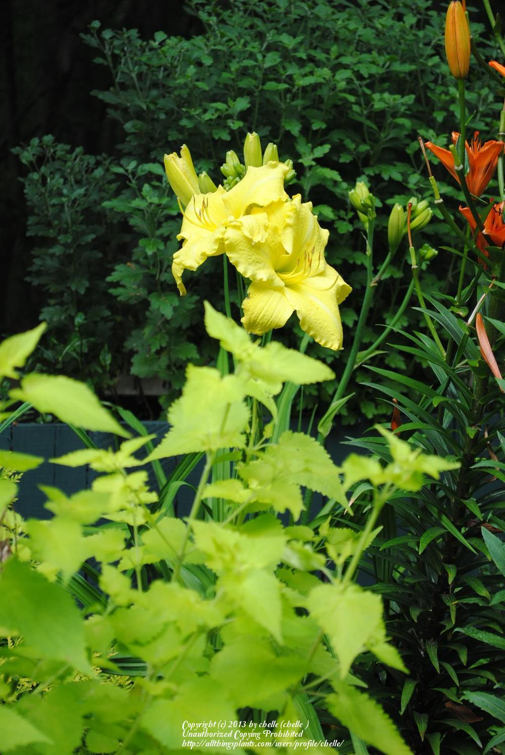 Photo of Daylilies (Hemerocallis) uploaded by chelle