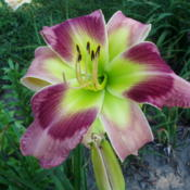 Location: DAYLILIES BY THE PONDDate: 07/2010