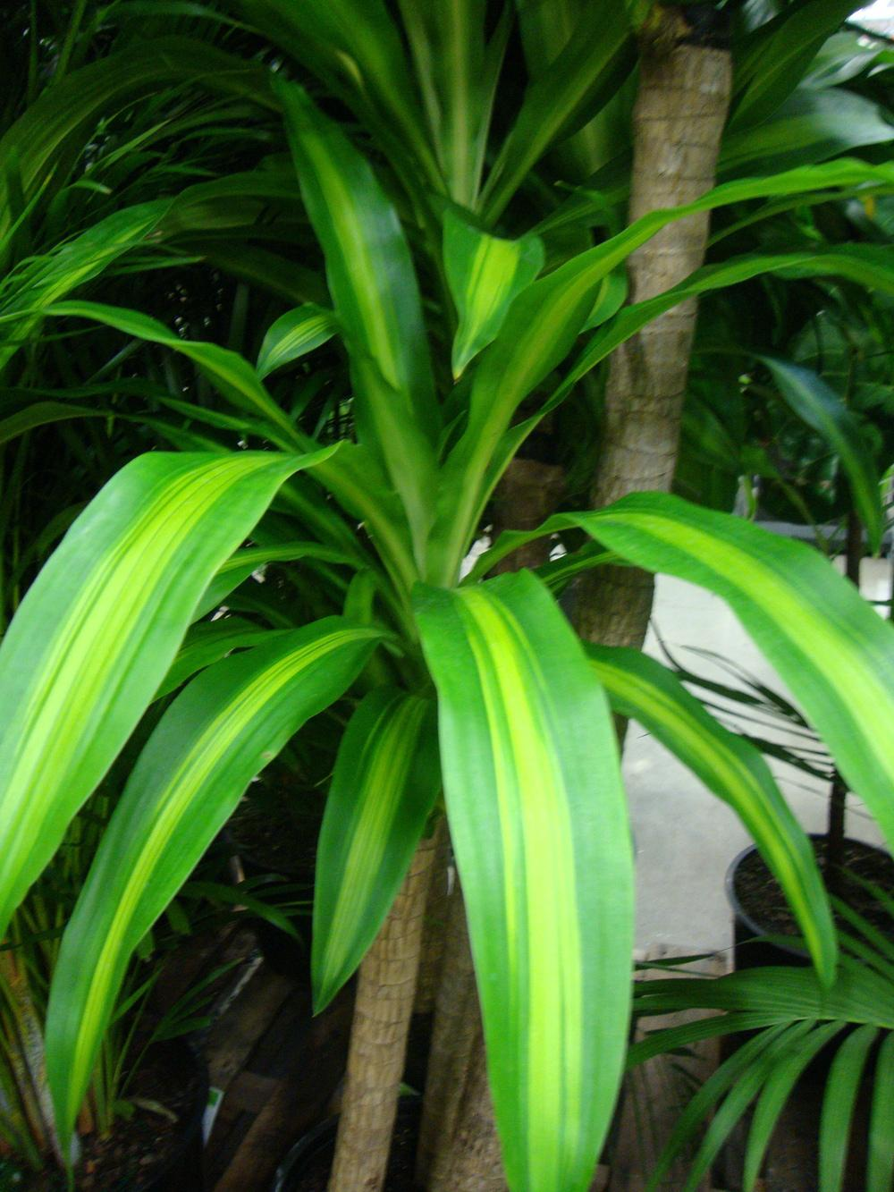 Photo of the entire plant of corn plant dracaena fragrans for Plante dracaena