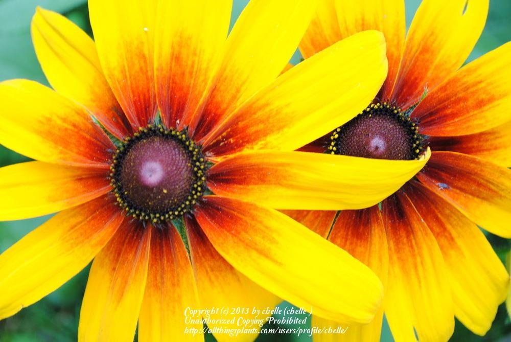 Photo Of The Stamens Filaments And Pistils Of Black Eyed Susan