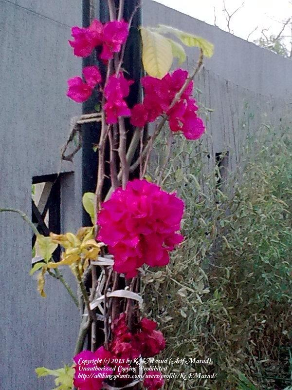 Photo of Bougainvilleas (Bougainvillea) uploaded by KAMasud