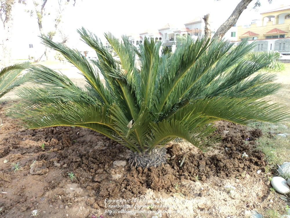 Photo of Sago Palm (Cycas revoluta) uploaded by KAMasud