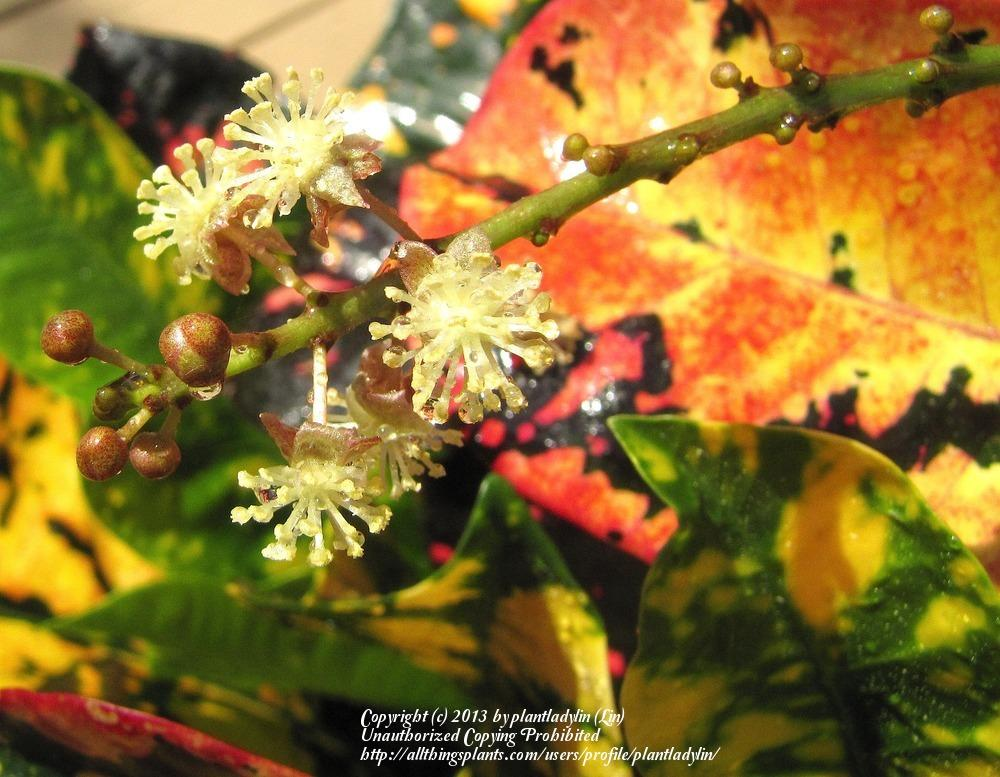 Photo of Croton (Codiaeum variegatum 'Magnificent') uploaded by plantladylin