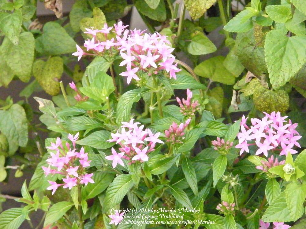 Photo of Star Flower (Pentas lanceolata) uploaded by Marilyn