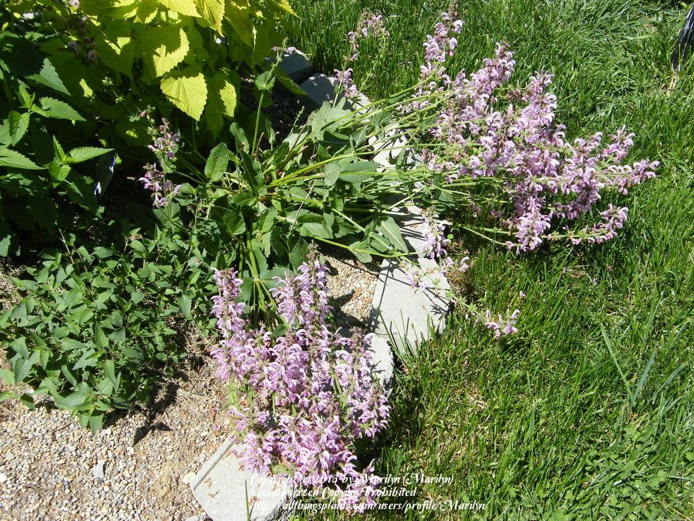 Photo of Sage (Salvia 'Eveline') uploaded by Marilyn