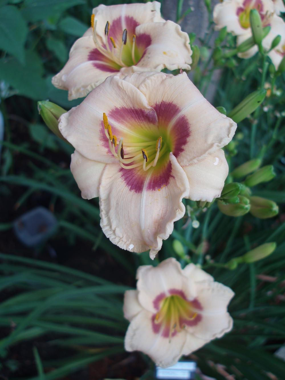 Photo of Daylily (Hemerocallis 'Frequent Flyer') uploaded by snickerspooh