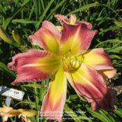 Location: Valley of the Daylilies in Lebanon, OH. Home of Dan and Jackie BachmanDate: 2005-07-10