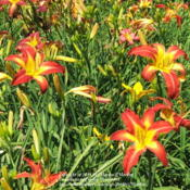 Location: Valley of the Daylilies in Lebanon, OH. Home of Dan and Jackie BachmanDate: 2006-07-06