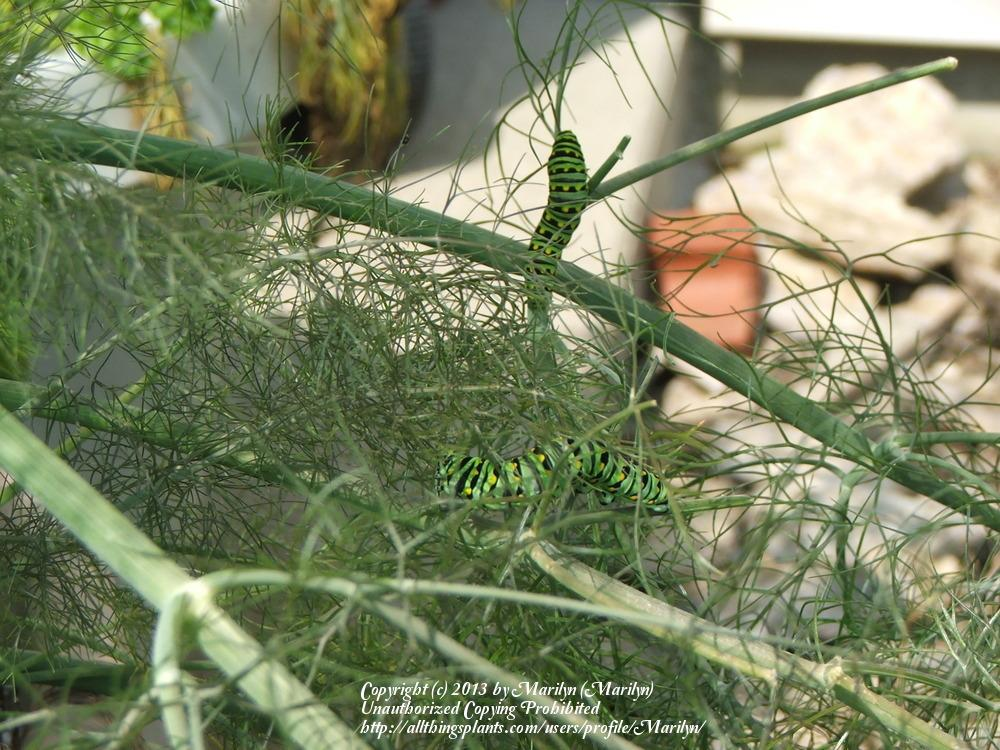 Dill stem, scape, stalk or bark