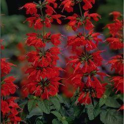 Photo of Scarlet Sage (Salvia coccinea 'Lady in Red') uploaded by SongofJoy