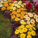 Plant Marigolds as  an Ant Deterrent