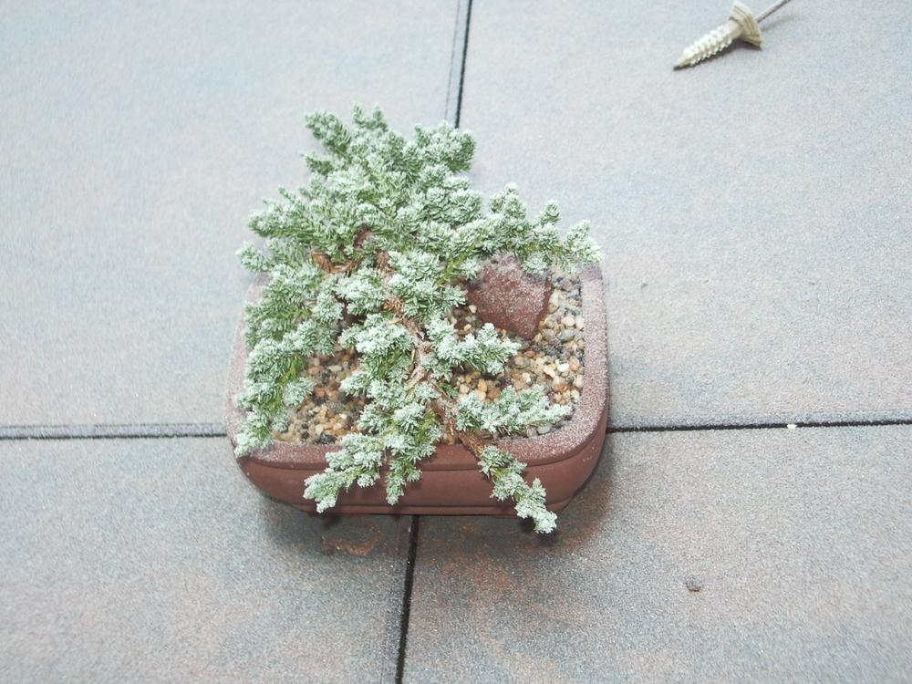 Photo of Dwarf Japanese Garden Juniper (Juniperus procumbens) uploaded by a2b1c3