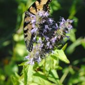 Location: My Northeastern Indiana Gardens - Zone 5bDate: 2012-08-05Swallowtails love the nectar from this plant!