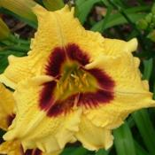 Courtesy of Banner Daylily Gardens Used with permission