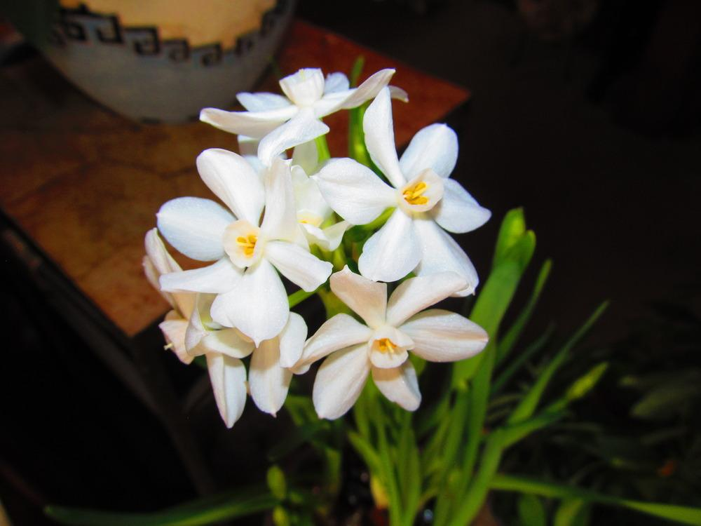 Photo of Paperwhites (Narcissus 'Ziva') uploaded by jmorth