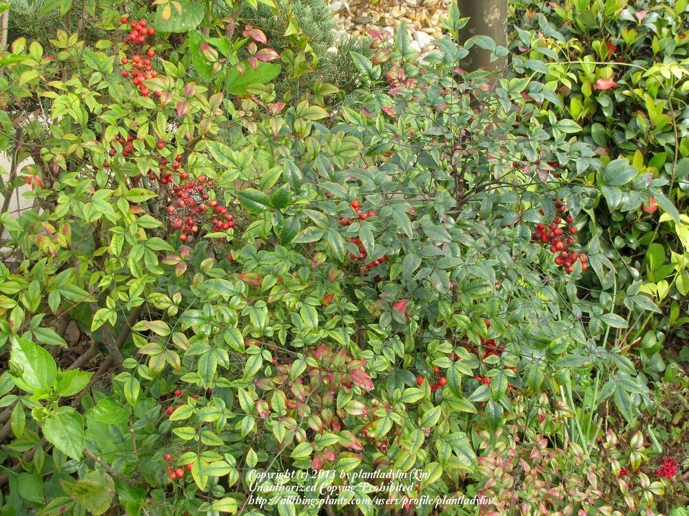 photo of the entire plant of dwarf nandina nandina domestica 39 compacta 39 posted by plantladylin. Black Bedroom Furniture Sets. Home Design Ideas