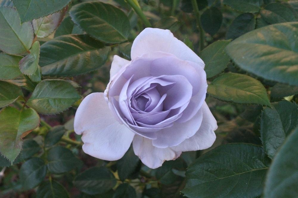Growing Roses in Cold Climates (Cold Climate Gardener's Library)