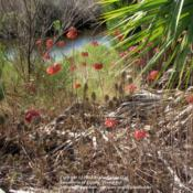 Location: Merritt Island, FloridaDate: 2013-01-26 Growing wild at Merritt Island National Wildlife Refuge