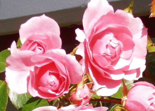 Photo of Rose (Rosa 'Bonica') uploaded by magga