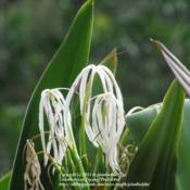 Location: Washington Oaks State Park, Palm Coast, FloridaDate: 2012-10-22 Fading blooms.