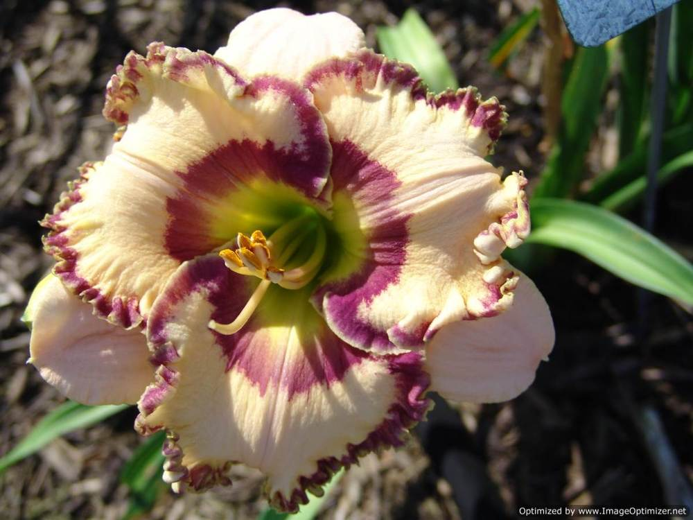 Photo of Daylily (Hemerocallis 'Keep on Looking') uploaded by Calif_Sue