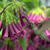 Date: Aug 2010Very popular with the hummers! #Pollination  #Hummingbird