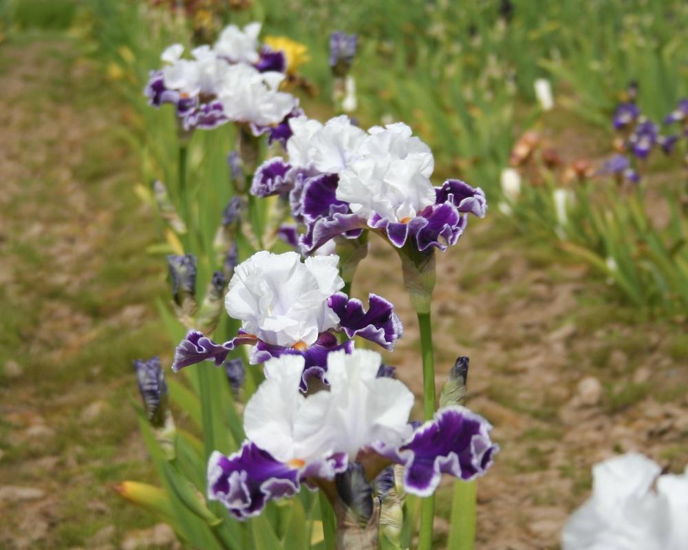 Photo of Tall Bearded Iris (Iris 'Merry Amigo') uploaded by KentPfeiffer